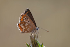 Little One (Luis-Gaspar) Tags: animal insect insecto butterfly borboleta aricia southernbrownargus ariciacramera lepidoptera lycaenidae portugal oeiras nikon d60 55300 f56 1800 iso400