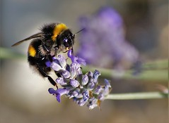 Bee on lavender (dlanor smada) Tags: bees bumblebees lavender