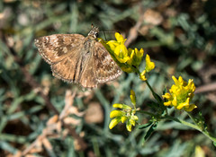 Dingy Skipper butterfly (DigPeter) Tags: bulgaria butterfliesskippers butterflymoth dingyskipper europe peterphoto asenovgrad plovdiv