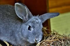 ~~Joli Lapinou tout doux...~~ (Jolisa { en vacances du 22 au 29 Sept.2016}) Tags: lapin animal doux aot2016 oreilles ears