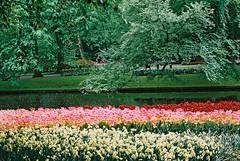 000019 (seustace2003) Tags: keukenhof nederland niederlande holland pays bas paesi bassi an sitr tulip tulp tulipan tiilip tulipa