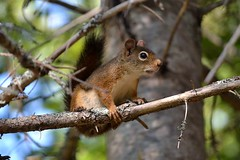 cureuil (pascal_roussy) Tags: cureuil squirrel animals animaux faune wildlife nature