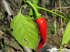 Rojo (mariarl_art) Tags: aj chile rojo aroma sabor delicia picor picante naturaleza vegetal fruto hoja planta