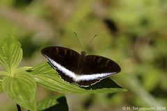 Tanaecia iapis iapis ♂ (?) (Hiro Takenouchi) Tags: schmetterling butterfly butterflies limenitidinae nymphalidae jawa java kupu mariposa nature insect indonesia