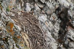 Gyrfalcon Nest (Jared Hughey) Tags: wild animal wildlife landscape scenery wilderness nature bird mammal songbird research science nationalparkservice noataknationalpreserve westernarctic northwest alaska brooksrange mountains arcticcircle delongmountains