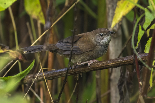 Javan Bush-Warbler - Ijen - East Java_MG_7413