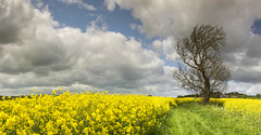 Bright n' breezy (BingleymanPhotos) Tags: yellow track bright yorkshire farming crop agriculture breezy rapeseed