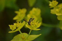 Euphorbia, un festín para los insectos (esta_ahi) Tags: barcelona españa flores insectos green fauna spain flora flor euphorbia syrphidae diptera penedès euphorbiaceae silvestres avinyonet sírfido испания