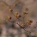 kidneyleaf buckwheat (Eriogonum reniforme)