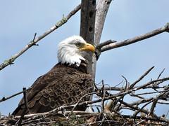 eagle7 (GWP Photography) Tags: bird animal nikon nest eagle outdoor pennsylvania adler baldeagle pa coolpix eaglesnest aquila orel guia aigle waynecounty guila  orze rn nestingpair     upperdelawareriver  waynecountypa coolpixp600