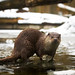 Otter with a stone
