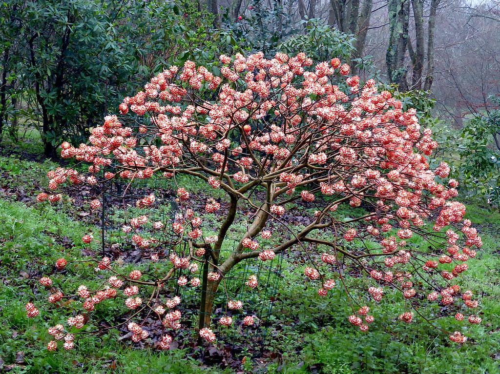 The world 39 s best photos of edgeworthia flickr hive mind for Edgeworthia chrysantha