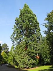 Mammoetboom, Watermaal-Bosvoorde (Erf-goed.be) Tags: geotagged boom brussel sequoia archeonet watermaalbosvoorde mammoetboom geo:lat=507989 geo:lon=44057