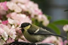 2015 Japanese Tit (baby bird) #2 (Yorkey&Rin) Tags: rose japan ballerina may olympus blueberry babybird kanagawa  rin kawasaki  inmygarden 2015 em5 japanesetit     olympusm75300mmf4867ii pc236000