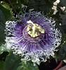 Passiflora (-Merce-) Tags: flower flor passiflora pasionaria