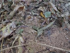 Scincidae>Lerista macropisthopus slider DSCF1779 (Bill & Mark Bell) Tags: exmouth westernaustralia australia geo:town=exmouth geo:state=westernaustralia geo:country=australia geo:lon=11425453egeolat2217752sgeoalt8m 11425453e2217752salt8m taxonomy:kingdom=animalia animalia taxonomy:phylum=chordata chordata taxonomy:class=reptilia reptilia taxonomy:order=squamata squamata taxonomy:family=scincidae scincidae taxonomy:genus=lerista lerista macropisthopus taxonomybinomialnameleristamacropisthopus leristamacropisthopus taxonomycommonnameunpatternedrobustslider unpatternedrobustslider animal fauna lizard