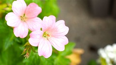 'Vision Light Pink'   Hardy Geranium:  It's  Bloomed Reliably For Years And Years (I Flickr 4 JOY) Tags: cranesbill reliable anemia cranesbillgeranium hardygeranium bloodycranesbill visionlightpink reliablebloomer