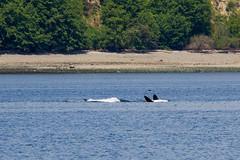 Transient orca belly (5/21/15) (wanderinggrrl) Tags: year2 week52