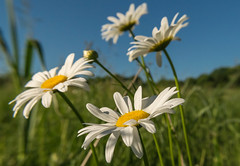 Spring daisies (tquist24) Tags: flowers sky flower tree daisies geotagged spring nikon unitedstates indiana wildflowers elkhart bootlakenaturepreserve nikond5300