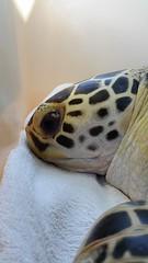 Sunburst Closeup (MyFWCmedia) Tags: ocean beach animal florida turtle release conservation jacksonville sunburst seaturtle ameliaisland floridafishandwildlife myfwc myfwccom myfwcmedia