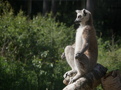 Contemplation (moggsterb) Tags: yoga relax zoo nirvana calm zen meditation contemplation ringtailedlemur ywp