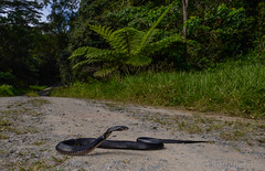 Red-bellied Black Snake (Pseudechis porphyriacus) (Mattsummerville) Tags: road rainforest reptile snake redbelly venomous julatten pseudechisporphyriacus redbelliedblacksnake mountlewis elapid