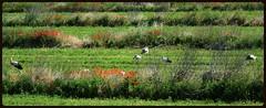 ILPOUSSE DES CIGOGNES (Odile ENTRE MER ET MONTAGNE) Tags: cigogne espagne bardenas paysage landscape nature animaux