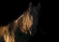 Moca (tamara.lsanchez) Tags: horses horse caballo cheval caballos ecuestre pferde cavalo equestrian equine horsephotography fotografiaecuestre