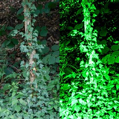 GREEN BEFORE AND AFTER (Visual Images1) Tags: green diptych ivy picmonkey