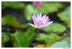 2016-07-10_001 (Aaron Cat) Tags: flower macro canon eos lily lotus usm f28 ef100mm 400d aaronhsu