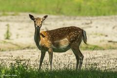 K3_30008_1_2048px (DJvL) Tags: amsterdame waterleiding duinen wildlife birds outdoor pentax k3 hddfa150450