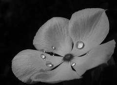 Vinca LIGHT (LOVE.OVER.LUST.) Tags: nature vinca white flower macromondays blackwhite flowersinblackwhite waterdroplets catharanthusroseus periwinkle capeperiwinkle copyspace lowkey