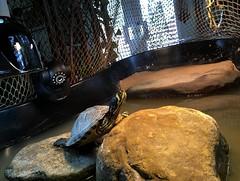 IMG_1776 (jalexartis) Tags: bask basking baskingstone baskingrock aquatic aquatichabitat aquarium abovetanknetting turtlesecurity fallsafe lighting perspective jalexartis