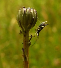 Aphid..x (lisa@lethen) Tags: summer macro nature field bug insect wildlife meadow tiny wildflower aphid