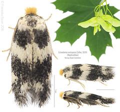 Norway Maple Seedminer (Franziska Bauer) Tags: norwaymapleseedminer ectoedemiasericopeza nepticulidae lepidoptera maple acerplatanoides spitzahorn august summer