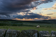 20160625-IMG_4638 Sheep Storm Clouds Over_ Haltwhistle Northumberland.jpg (rodtuk) Tags: uk england nature mammal north places northumberland agricultural b24 70d phototypes roderickt