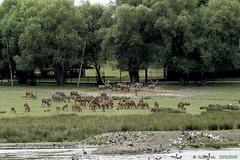 _MG_8133 (eminorah) Tags: cerfs daims meute troupeau vue paysage parcanimalierdesaintecroix saintecroix rhodes