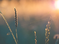 world wide web (Das StadtKind) Tags: new morning grass sunrise germany bavaria europe flickr dof bokeh depthoffield popular naturephotography macrophotography kempten grashalme stadtkind bokehlicious olympusem10markii olympusm2860