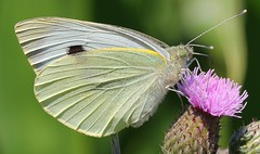 Large White 190716 (4) (Richard Collier - Wildlife and Travel Photography) Tags: macro wildlife ngc butterflies insects naturalhistory british largewhite