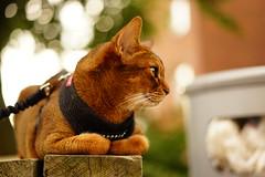 Lizzie (DizzieMizzieLizzie) Tags: portrait beautiful cat wonderful chats feline sony lizzie gato siesta meow katze abyssinian gatto katzen a7 kot katt aby pisica mirrorless dizziemizzielizzie
