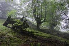EL LESHII (Juanjo Vlez de Elburgo) Tags: forest bosque green verde moss musgo nature naturaleza summer verano bw77mmxsprodigitalhtcpolksmmrcnano tokina1116mmf28atxprodxii basquecountry pasvasco nikond7000 euskadi hayedo trasmochas euskalherria niebla fog
