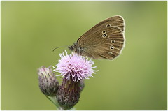 Ringlet (jenny*jones) Tags: 3902 ringlet aphantopushyperantus nymphalidae brushfootedbutterfly lepidoptera westyorkshire gtbritain meadow summer2016 flower pollen canon canon100mm28