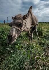 Circus (PhilND8) Tags: camel circus brittany uga uwa philnd8