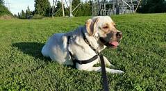 Gracie lying on the soft grass (walneylad) Tags: gracie dog canine puppy pet lab labrador labradorretriever cute summer july