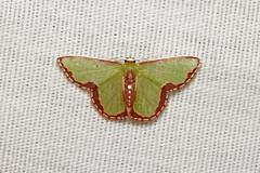 Geometridae sp. - Costa Rica (Nick Dean1) Tags: geometridae animalia arthropoda arthropod hexapoda hexapod insect insecta lepidoptera moth costarica lakearenal