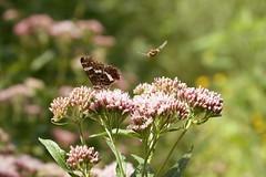 butterfly attack (robvandergriend) Tags: vlinder aanval butterfly macro flower bloem heemtuin rob van der griend lucky shot canon 70d