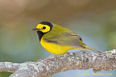 Hooded Warbler (Andrew's Wildlife) Tags: hooded warbler