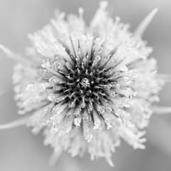 Teasel #6 (billd_48) Tags: ohio summer nature flowers teasel macro
