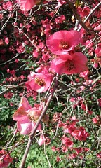 Cerca de la primavera, Mirta N Ruiz - 111431 (mirta.nruiz) Tags: flores flowers abejas bees primavera spring color
