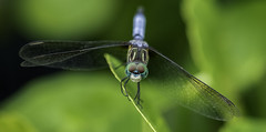 Dragonfly (3) (lpetterborg) Tags: waterlily dragonfly tree frog garland texas
